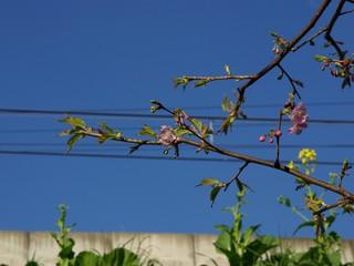 桜...だよね?