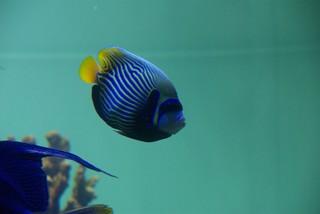 いかにも熱帯魚