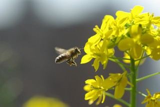 ミツバチとコマツナ