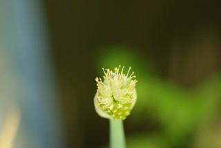 小ネギの花